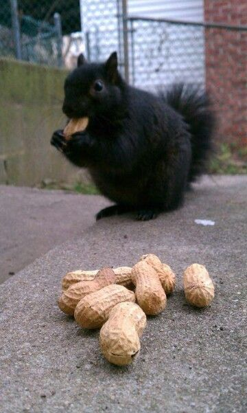 do you like nutz i talk to squirrels squirrel black squirrel