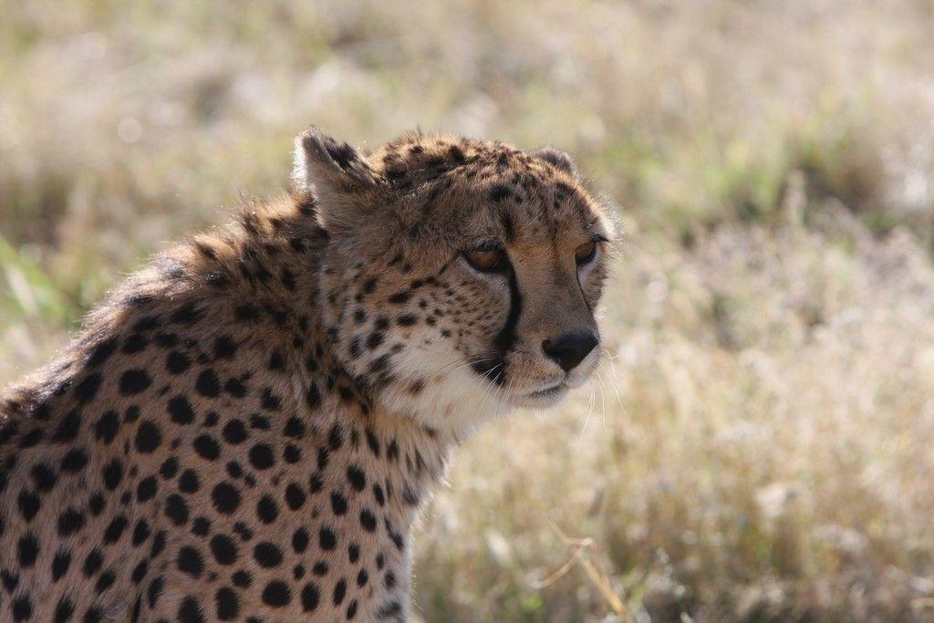 calm animal cheetah big cat wallpaper