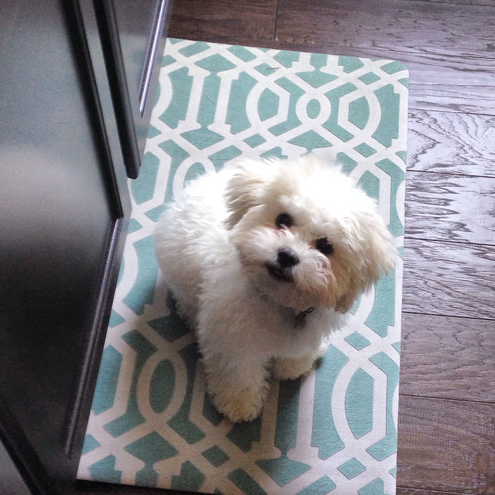 Fuzzy White Shichon Puppy Almost Full Grown Shichon Puppies Teddy Bear Puppies Teddy Bear Dog