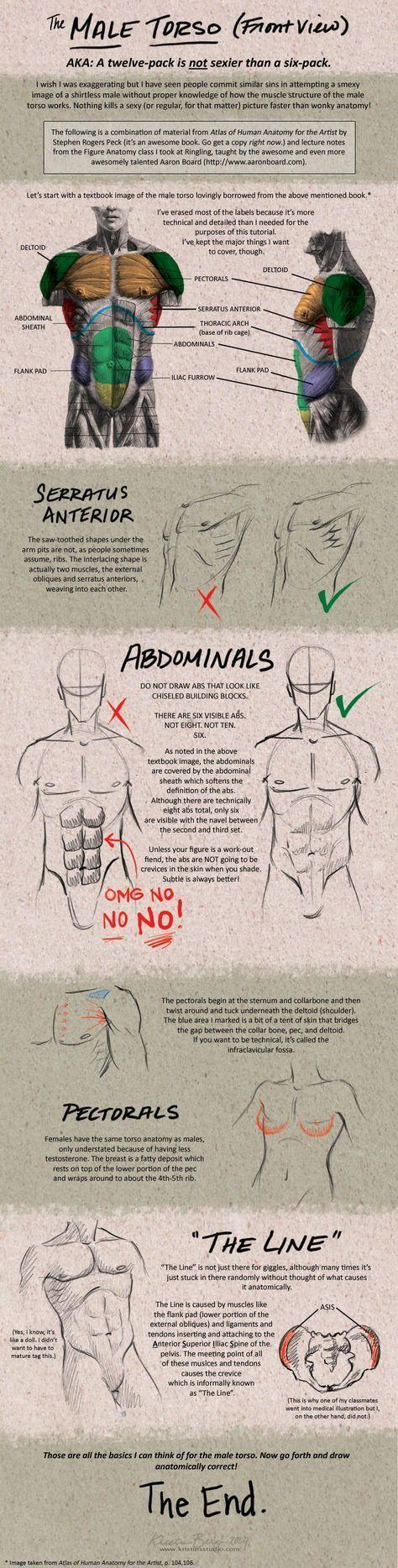 Torso Muscles Anatomy Medicina Pinterest Muscle Anatomy And