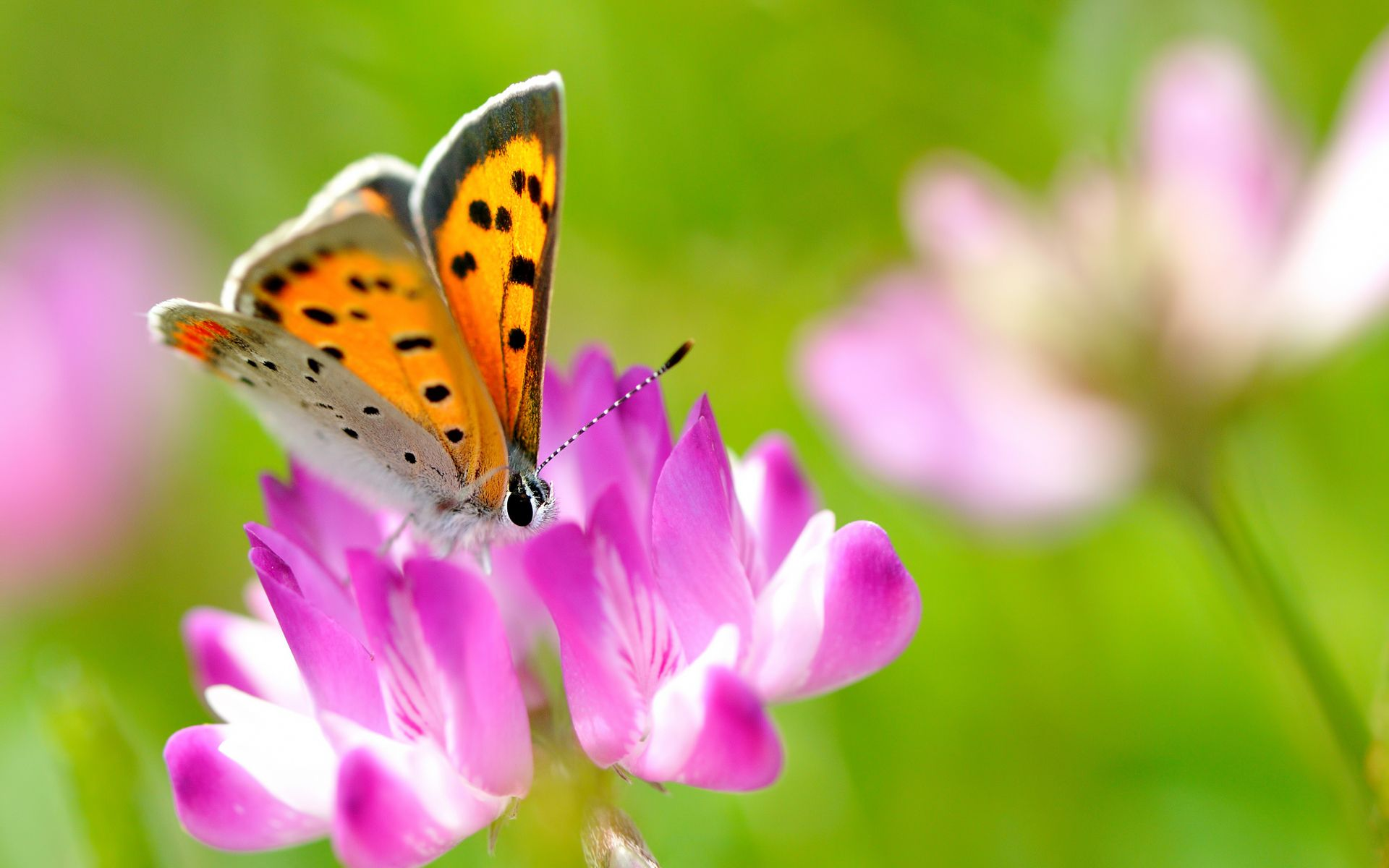Beautiful Butterfly On Pink Flower Wallpapers - Free HD Wallpaper ...