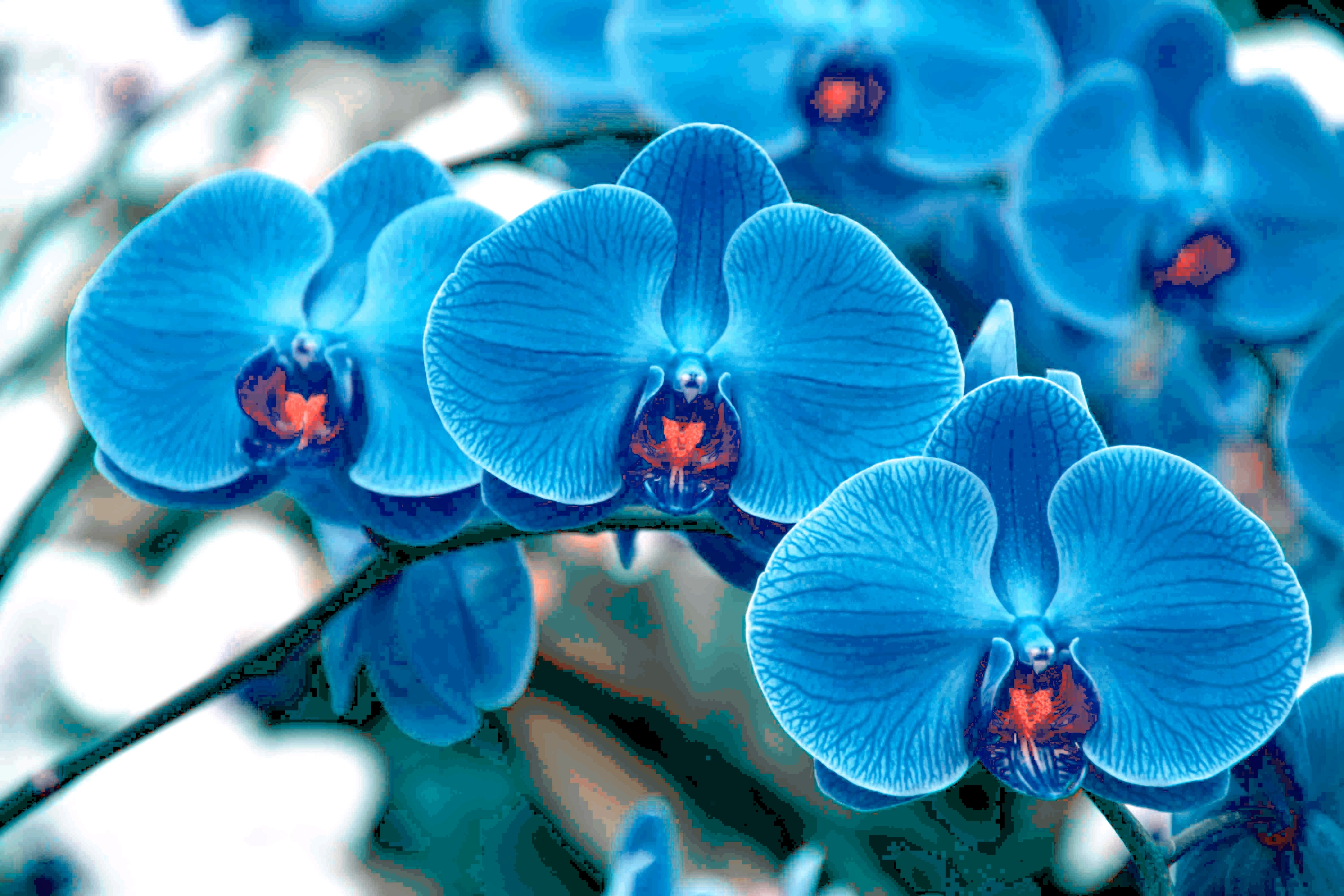 3526 Blue Orchid Jpg 4752 3168 Orchid Wallpaper Blue Orchids Orchids