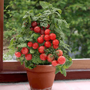 tomate cherry en maceta