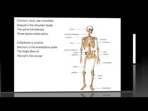 How To Learn The Human Bones Tips To Memorize The Skeletal Bones Youtube How To Memorize Things Human Bones Upper Elementary Science