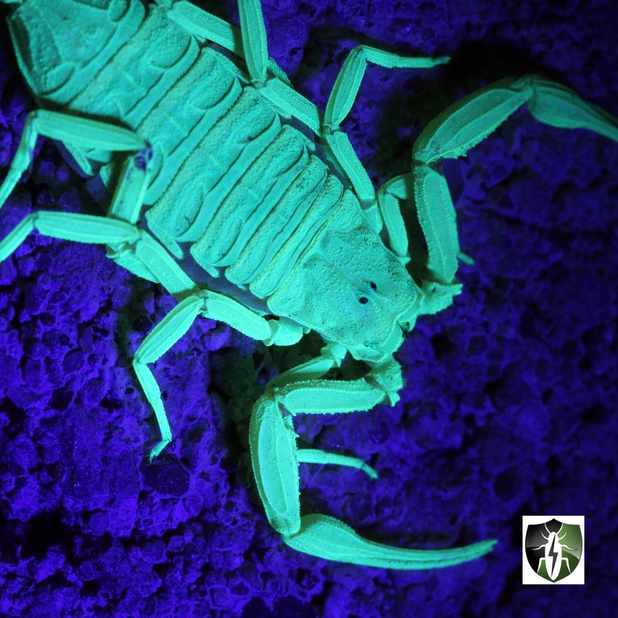 YOUR FAMILY. YOUR INVESTMENT. We'll help you defend them with unrivaled #scorpion pest control and extermination service. Scorpion season is upon us and has potential to be very bad this year from all the rain we got. We guarantee to help defend you against any future scorpion problems using the latest technology and scientifically proven methods. For more info: click the website link #BellatorPest #Scottsdale #Arizona