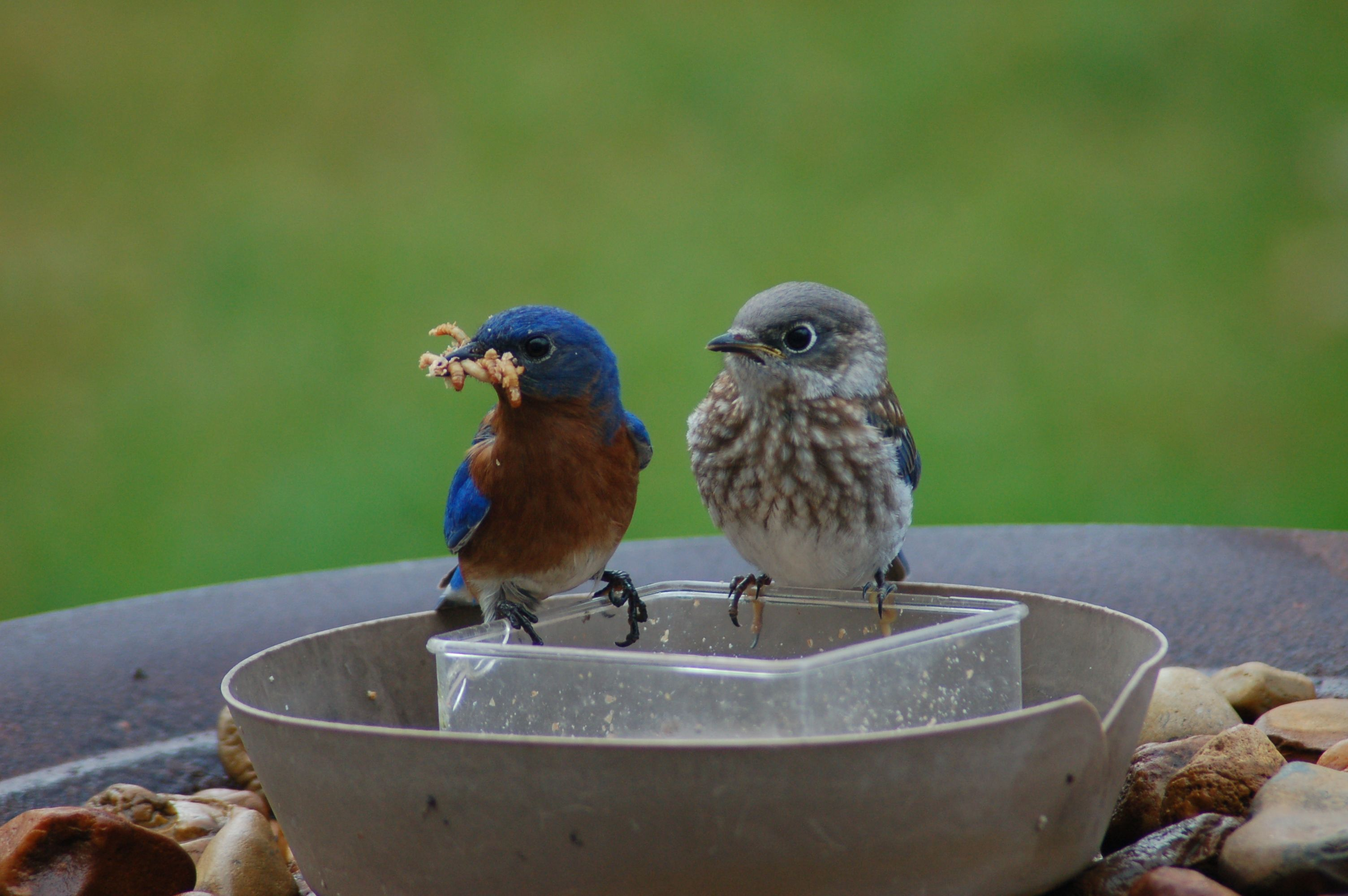 Dad and baby eating together   Blue bird, Bird pictures, Birds