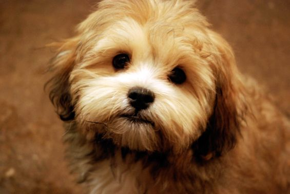 Shih Tzu Bichon Puppies Pictures With Images Bichon Dog