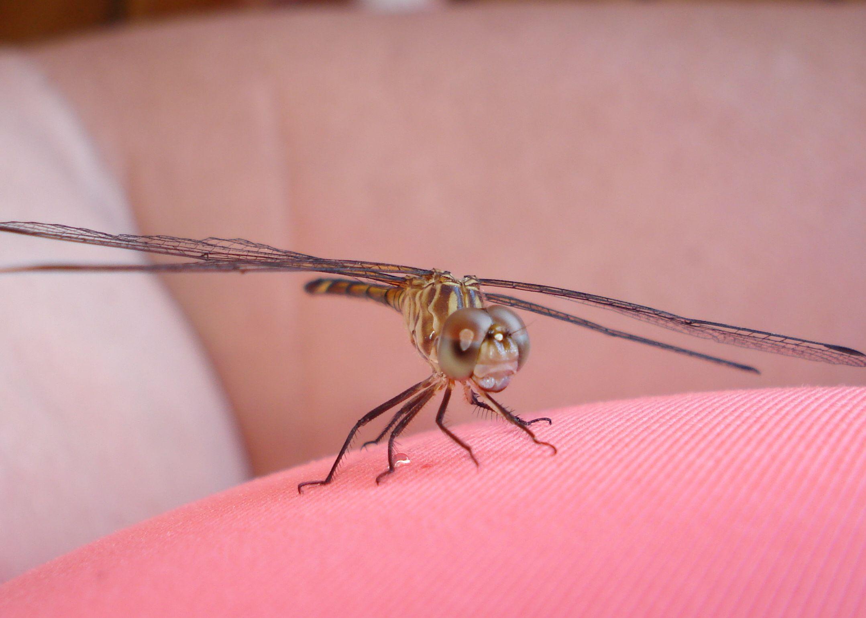 Costa Rican Dragon Fly 2008