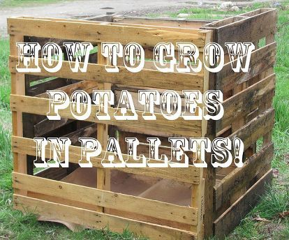 potato growing competition tips