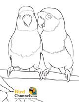 Pet Bird Parrot Finch Canary Coloring Pages Bird Drawings Bird Coloring Pages Bird Art