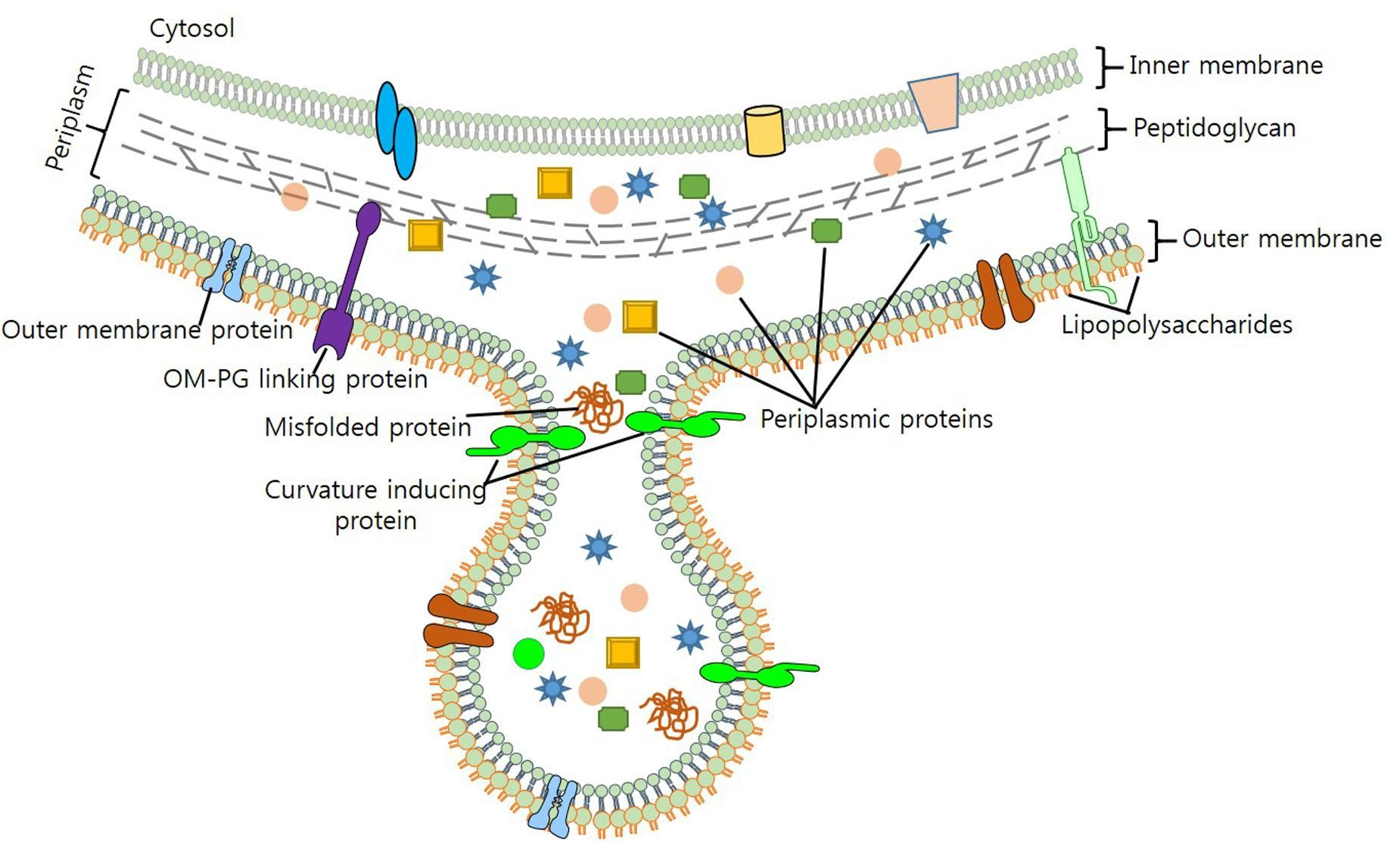 Outer Membrane Vesicles Of Gram Negative Bacteria