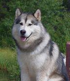 Adair N Hug Alaskan Malamutes Breeders Located In Colorado