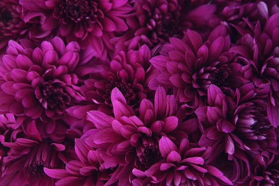 Flower Photograph Dark Pink Magenta Chrysanthemums Pink