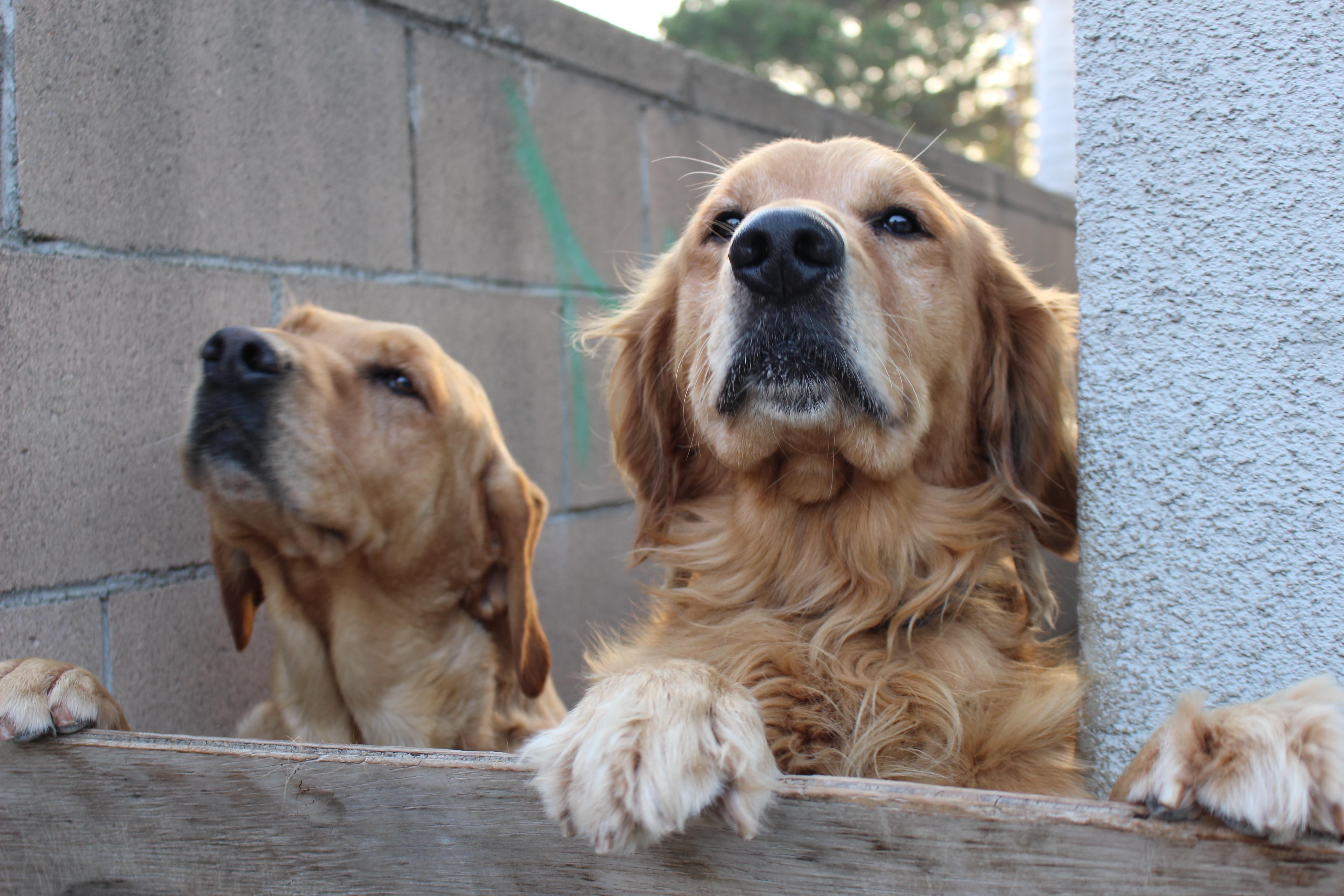 Puppies Breeds Medium Labrador Retriever Puppies Breeds Medium In 2020 Labrador Retriever Puppies Golden Retriever Puppy Breeds