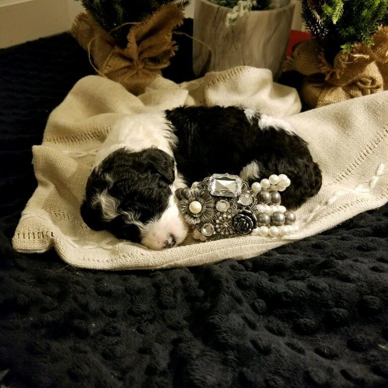 Red goldendoodle puppies for sale texas