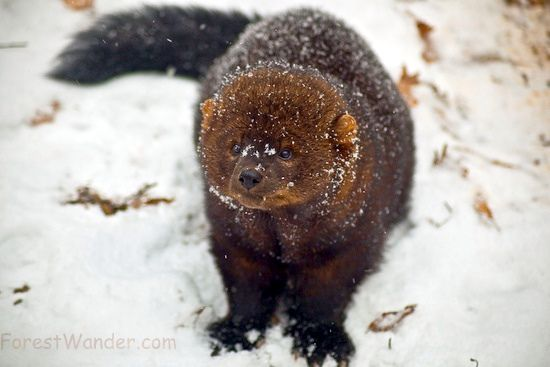 Blog About Cats Fisher Cat Pictures Fisher Animal Fisher Cat Pictures Mink Animal