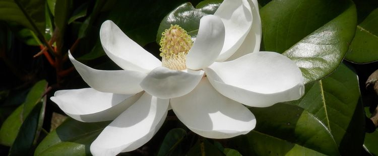 Louisiana State Flower The Magnolia Proflowers Blog Types Of White Flowers White Flowers Fragrant Plant