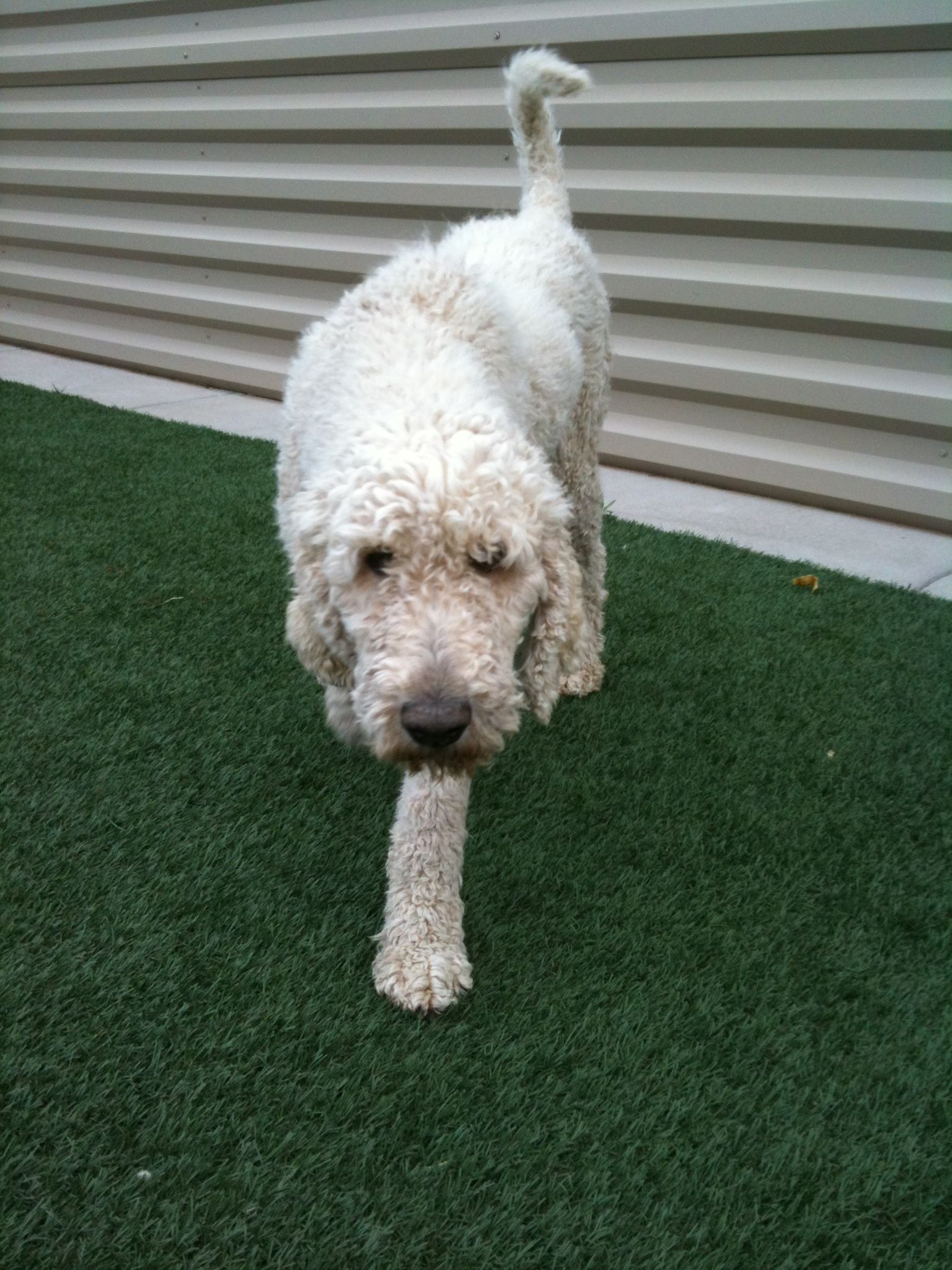 Rin Tin Tin Is A Pure Bred Standard Poodle Up For Adoption At