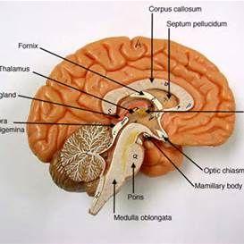 3d brain model labeled brain brain anatomy, brain models Brain Computer Interface Diagram