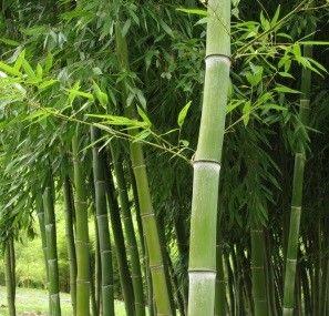 bamboo business coltivazione