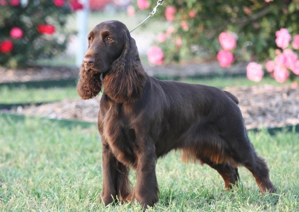Pin By Martine Carnez On Cute Stuff In 2020 Spaniel Breeds Dog Breeds Field Spaniel
