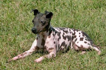 American Hairless Terriers American Hairless Terrier By Ryan And Karyn Pingel Terrier Furry Friend Hairless
