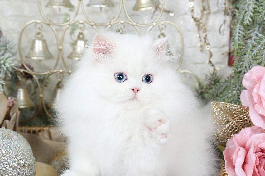 White Persian Kittens White Persian Cats Pure White Catsultra Rare Persian Kittens For Sale 660 2 Persian Kittens Persian Cat White