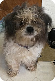 Rochester Ny Shih Tzu Meet Spencer Sweet Rescue Dogs That