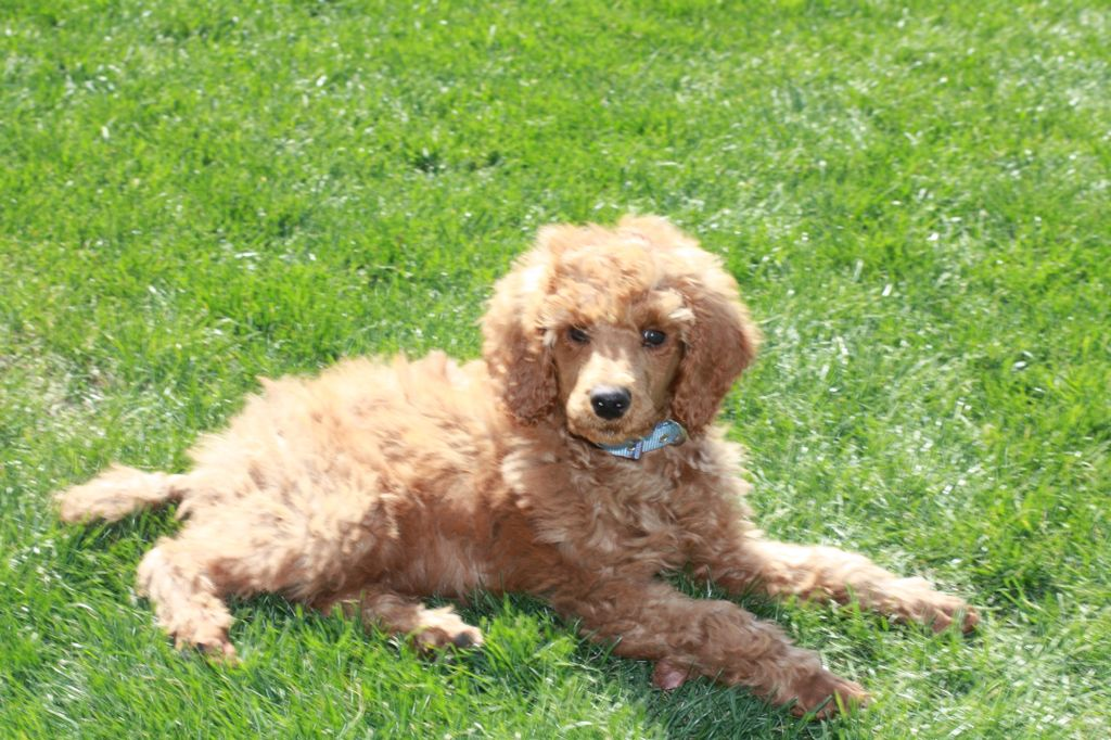 Clovis our red standard poodle puppy at 10 weeks old