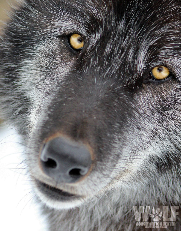 "NY Wolf Center on Twitter: ""Thank God I'm Fabulous. #TGIF #StandForWolves https://t.co/zgiwofekIe"""