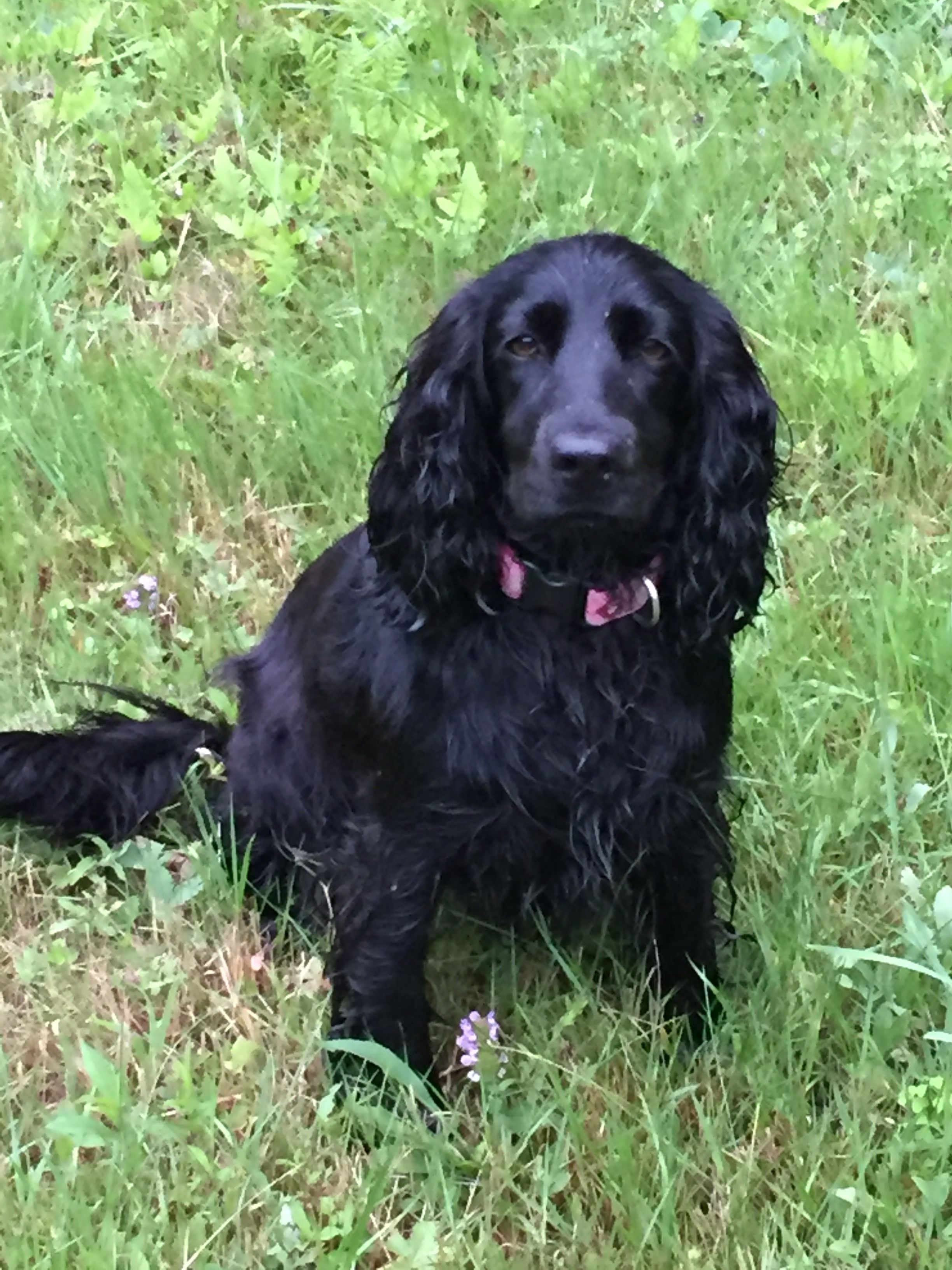 Pin By Jane Brown On Black English Cocker Spaniels Working Class