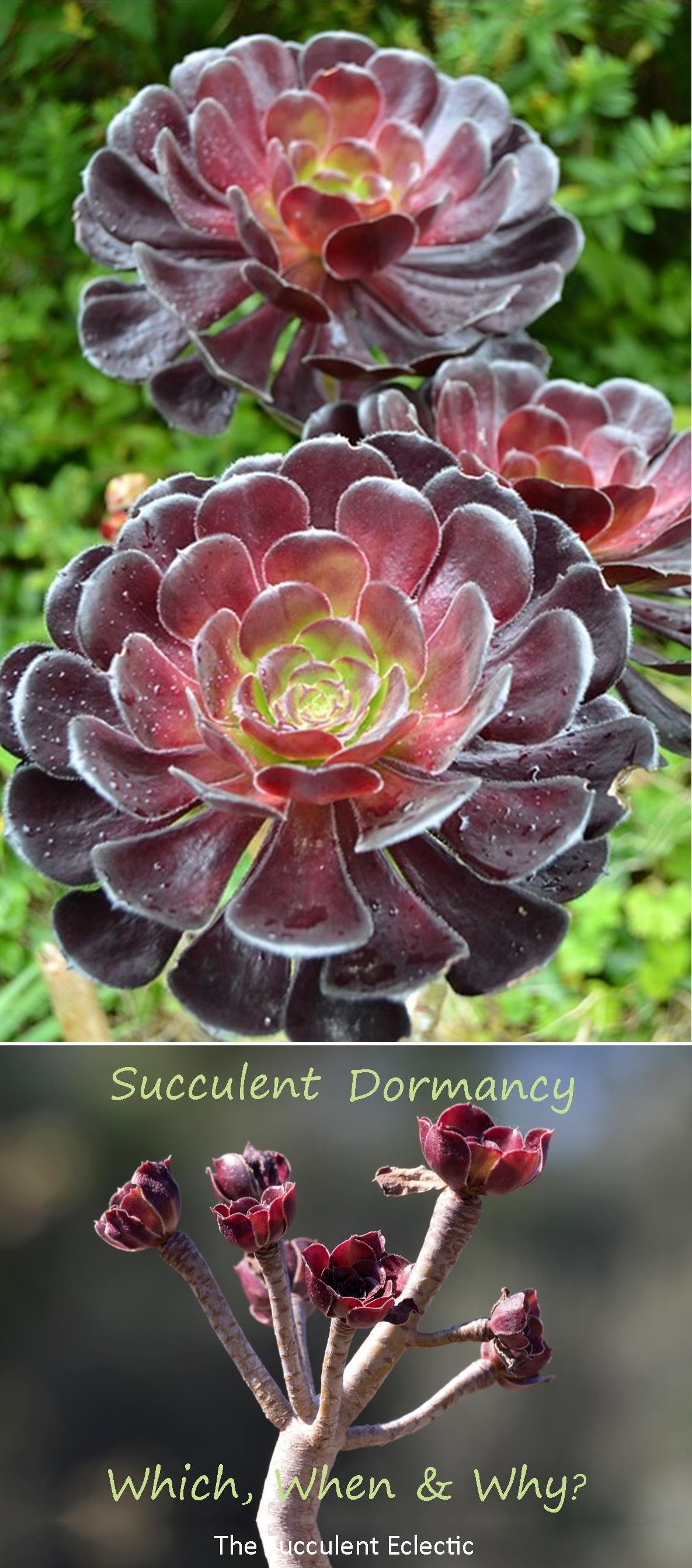 Understanding succulent dormancy is an important part of succulent care. Use this succulent dormancy table as a reference and check it as the first step in troubleshooting a plant that isn't looking great. It may just be dormant! :)  Learn how to care for your dormant succulents too. Pin now, and read later.  #succulentdormancy #succulentdormancytable #succulentcare