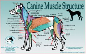 dog hind leg diagram 2004 chevy silverado factory radio wiring canine muscle anatomy poster | chart lets learn pinterest ...