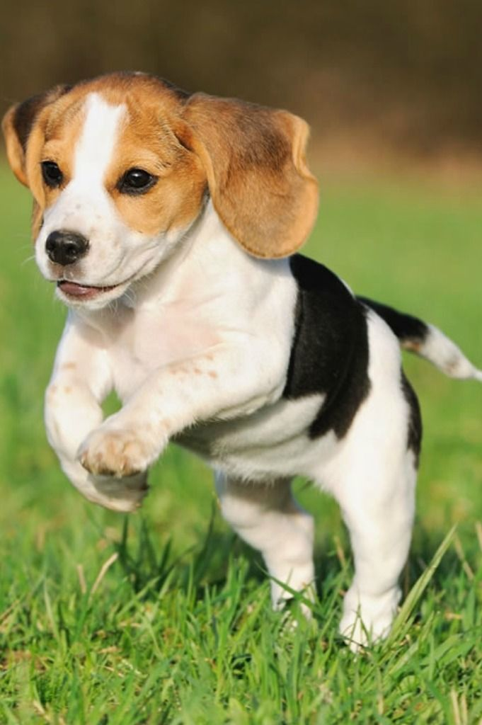 5 Dog Breeds That Dig The Most Dog Breeds Beagle Puppy Cute