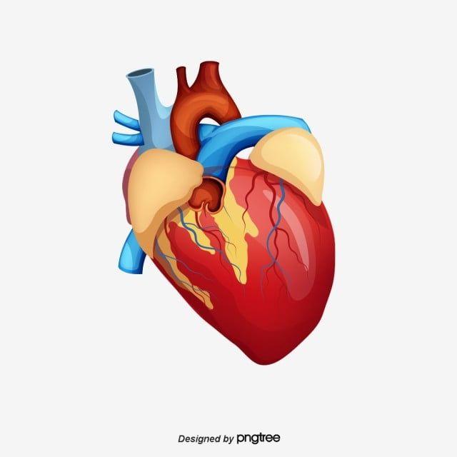 الإنسان الإنسان الخلاق تخطيط كهربية القلب الطبية Png وملف Psd للتحميل مجانا Heart Images Hd Heart Images Human Heart