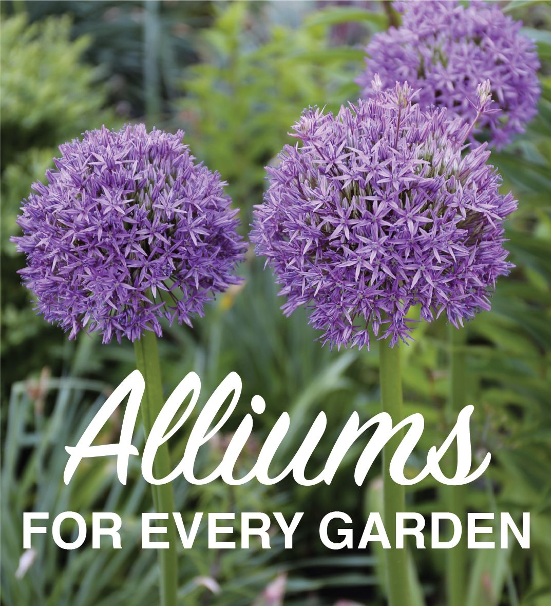 Do You Grow Alliums Here Are Six Reasons Why These Fun Spring Flowers Belong In Your Garden Flower Garden Plans Longfield Gardens Organic Gardening Tips