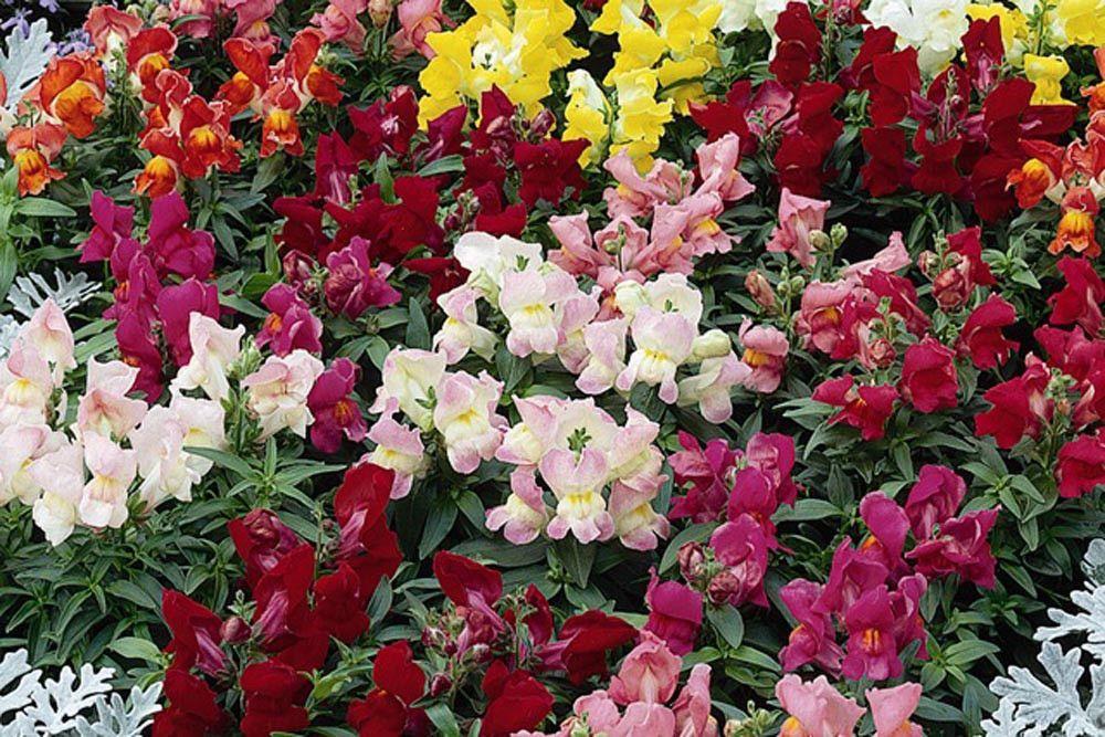 Pelleted Snapdragon Seeds Montego Mix Flower seeds