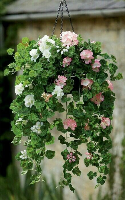 trailing geranium basket pinteres. Black Bedroom Furniture Sets. Home Design Ideas