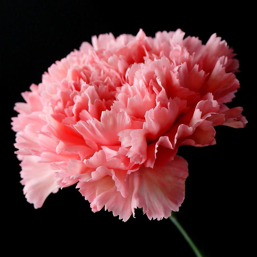 Close Up Of A Pink Carnation Flower Isolated On A Black Background