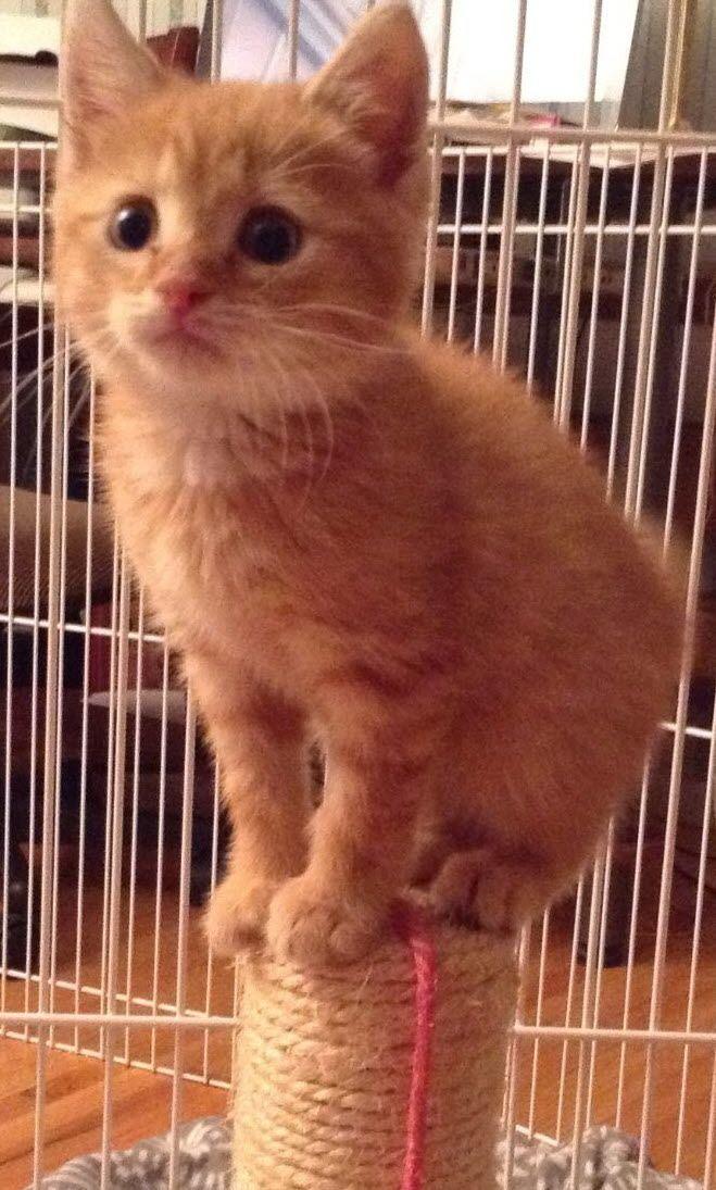 Adopt Rusty On Petfinder Cat Adoption Animal Shelter Adoption
