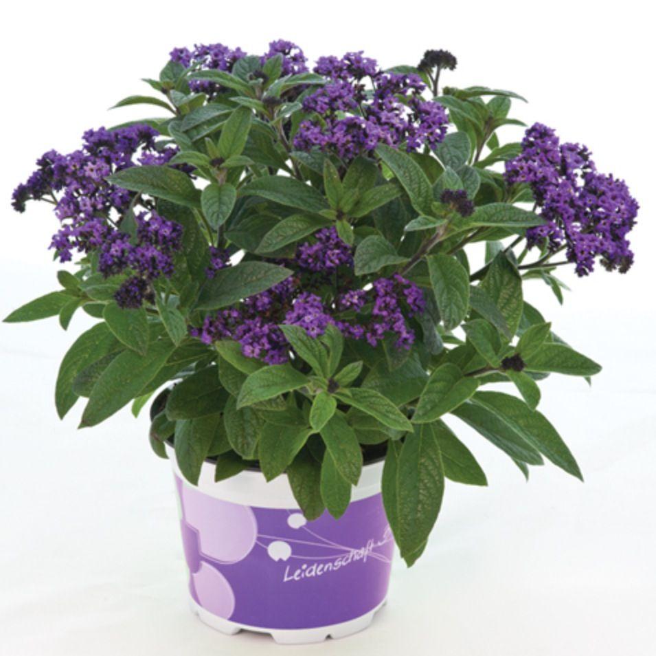 Heliotrope Poseidon Blue Annual Full Sun Plant Got Them For The