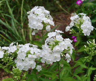 One Of The Best Varieties Of The Old Fashioned Garden Phlox And