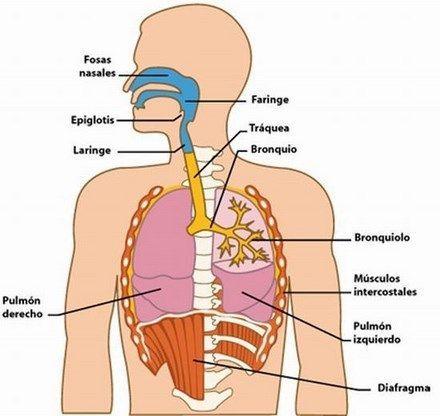 Partes Del Sistema Respiratorio Organos Del Sistema Respiratorio Sistema Respiratorio Funciones Del Sistema Respiratorio