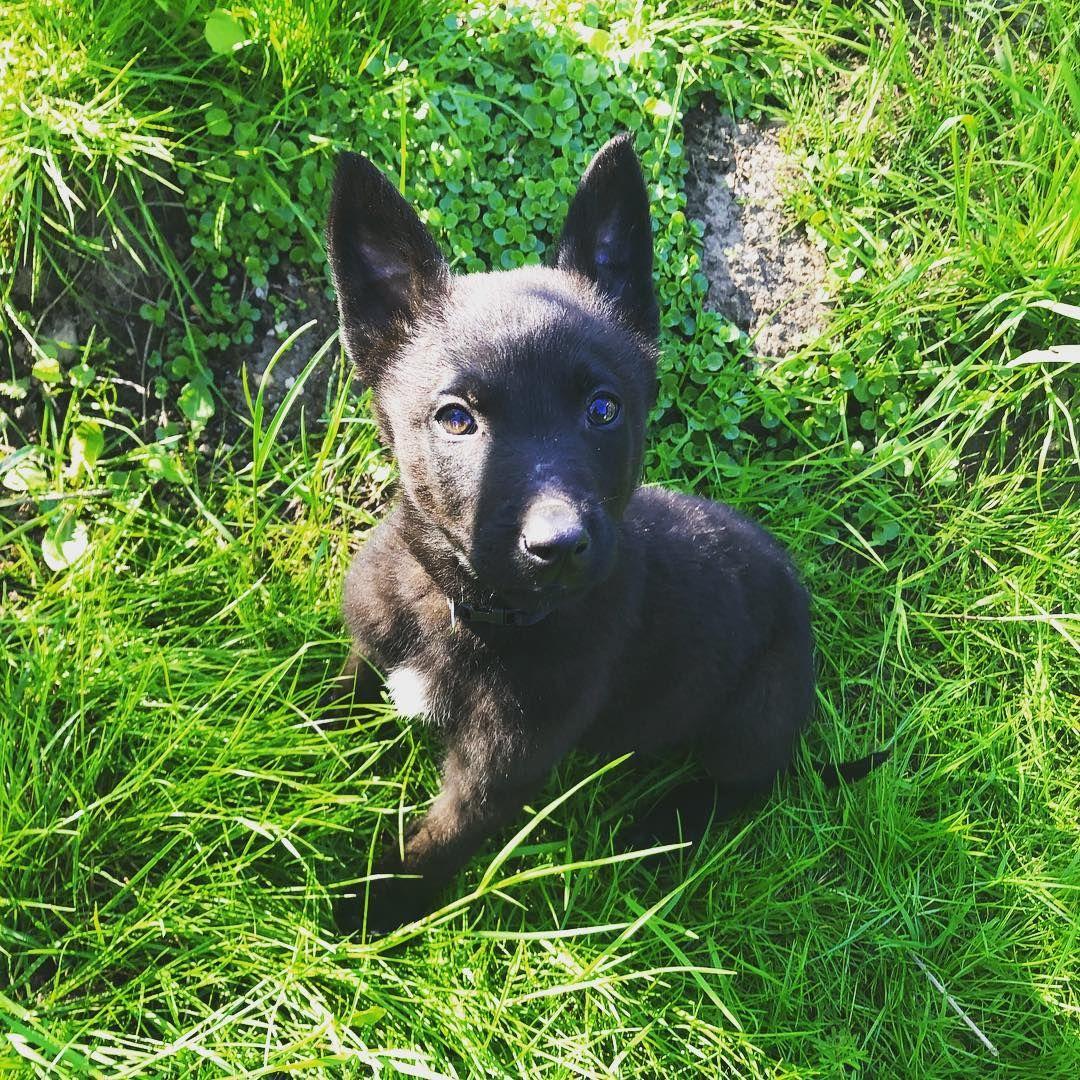 Xanakkayeℓiix Xavakkaeliix Instagram Photos And Videos Belgian Malinois Belgian Shepherd Dark Coat Puppy Seattle Dogs Seattle Dog Puppies