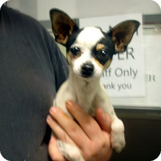 Brattleboro Vt Chihuahua Meet Kendal A Dog For Adoption
