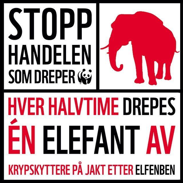 Stopp handelen som dreper! Ulovlig handel med elfenben truer elefanten med utryddelse. Kriminelle gjenger tjener store penger på salget. Hver halvtime drepes det nå minst én elefant. #WWFfadder #killthetrade #elephant #infographic