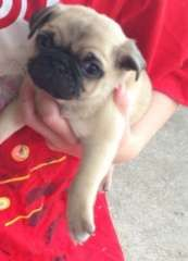 Pure Bred Pug Pups Pug Puppies For Sale Rainbow Flat New South