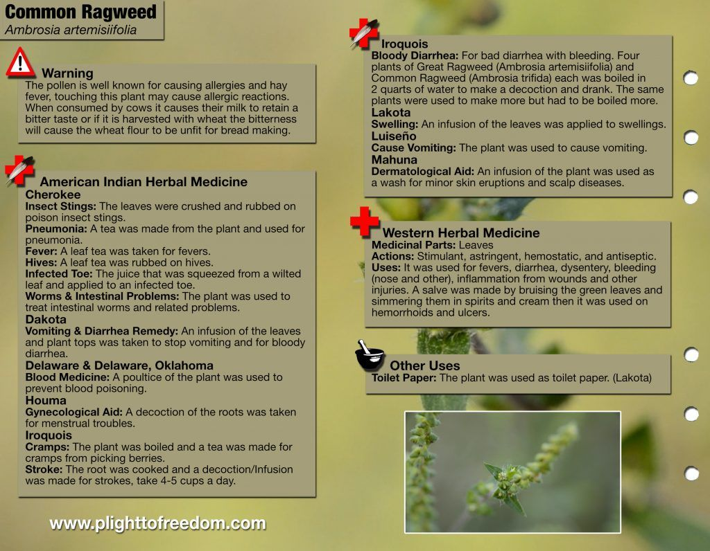 Common Ragweed Back Wild Flowers Field Guide Natural World