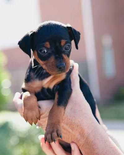 Baby Min Pin Puppy Baby Puppies Mini Pinscher Min Pin Puppies