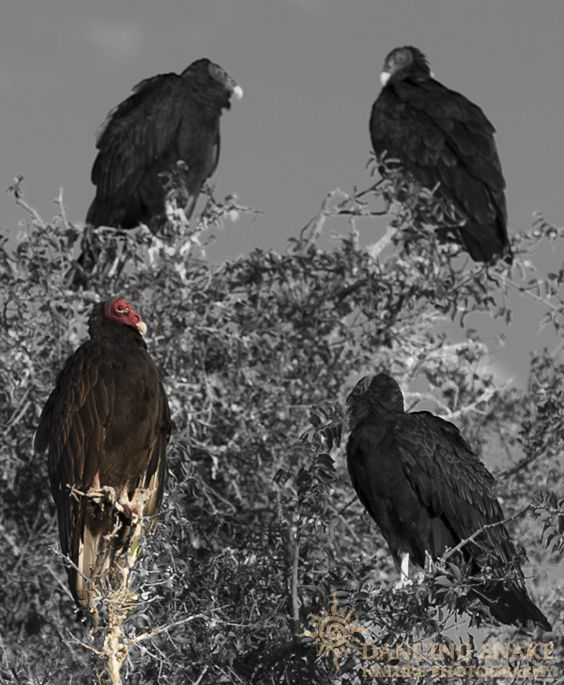 all eyes on me turkey vulture i m not sure about my